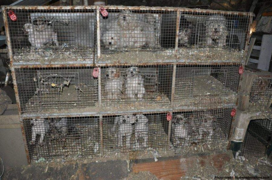 This photo depicts a typical puppy mill. AP photo.